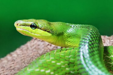 Kifogyóban a kígyómarás elleni szérum